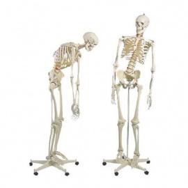 Squelette humain taille réelle FRED Pro Flexible sur support métallique à roulettes