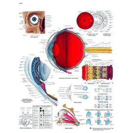 Planche Anatomique l´Oeil humain