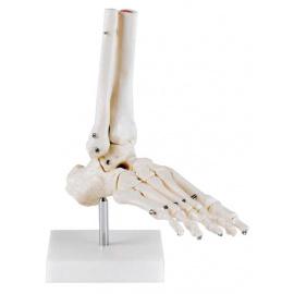 Articulation du pied