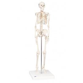 Squelette humain miniature Shorty sur socle